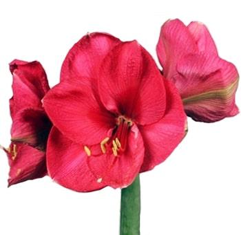 Dark Pink Amaryllis Flower