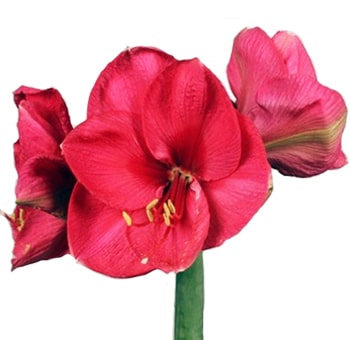 Dark pink amaryllis flower mightylinksfo