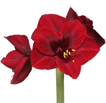 Amaryllis Red Flowers