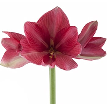 Amaryllis Hot Pink Flowers