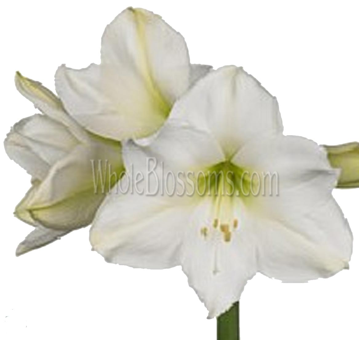 amaryllis-white-flower
