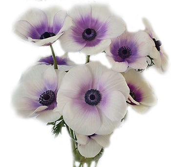 Anemone Purple Flowers Bicolor