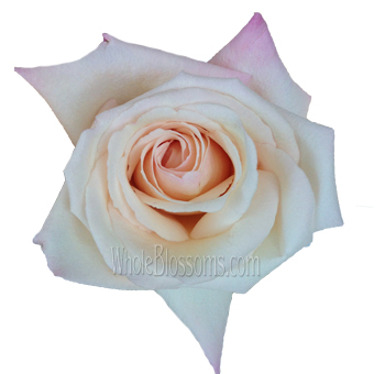 Anna Creamy Light Pink Rose