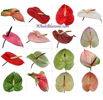 Wholesale Anthuriums
