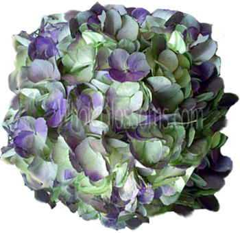 Antique Purple Hydrangea Tinted