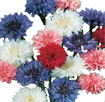 Cornflower Assorted
