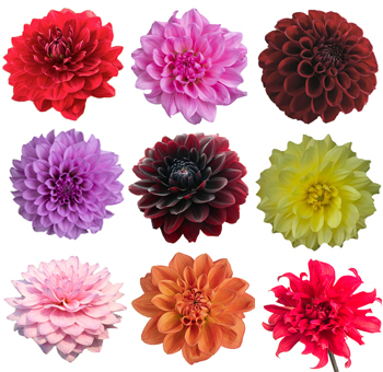 Assorted Dahlia Flowers