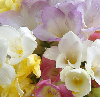 Assorted Freesia Flowers
