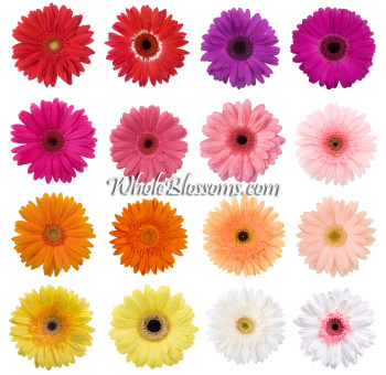 Gerberas - Choose Your Color 60 Stems