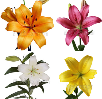 Assorted LA Hybrid Lily Flowers