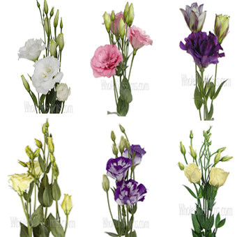 Lisianthus Assorted
