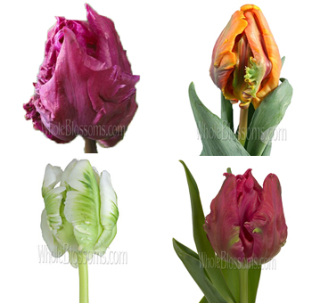 Assorted Parrot Tulips