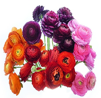 Assorted Ranunculus