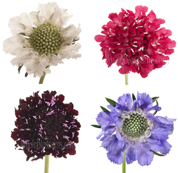 Scabiosa Assorted