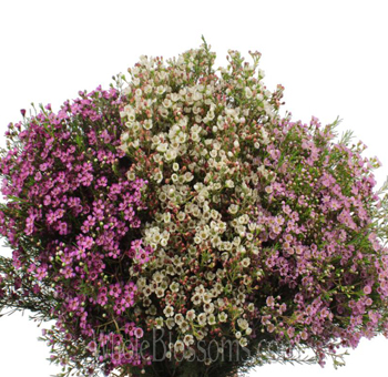 Waxflowers Assorted
