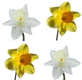 Daffodils Assortment White & Yellow