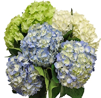Hydrangeas Natural - Choose your own colors | 100 stems