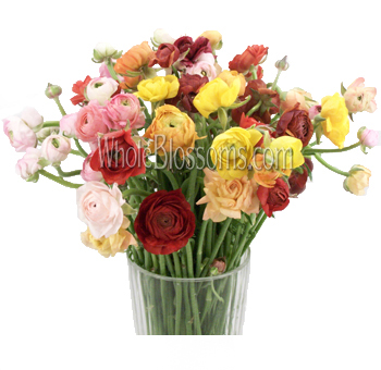 Ranunculus Assorted Colors