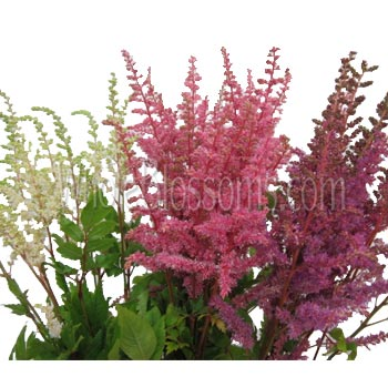 Fresh Cut Wholesale Astilbe Assorted Flowers