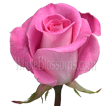 Wholesale attache hot pink rose in bulk attache hot pink roses mightylinksfo