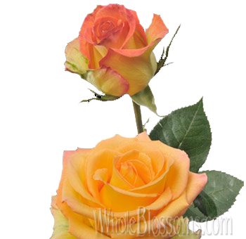 Attraction Bicolor Yellow Rose