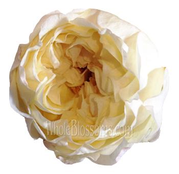 caramel peach - Peach Garden Rose