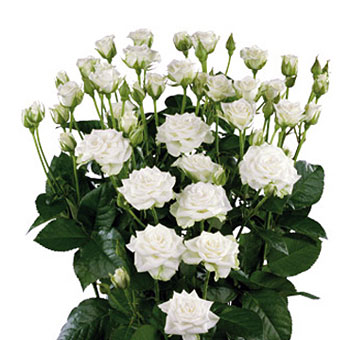 White Wholesale Rose Spray