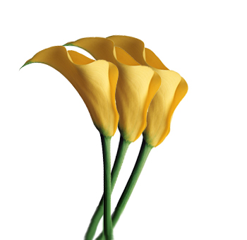 Yellow Calla Lily Flower