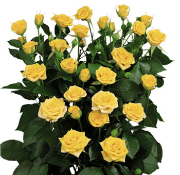 Yellow Wholesale Rose Spray
