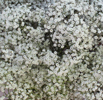 Bulk White Baby's Breath - Express Delivery