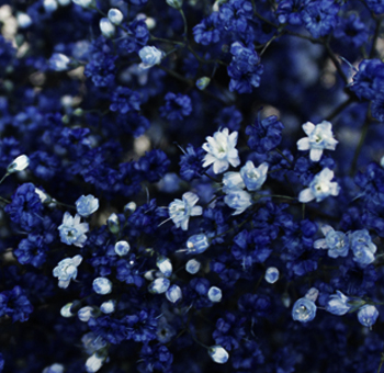 Dark Blue Babys Breath