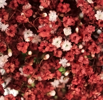 Dark Red Babys Breath