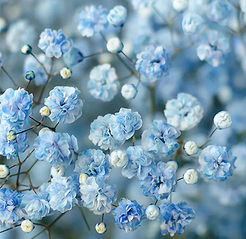 Baby's Breath Light Blue Flowers