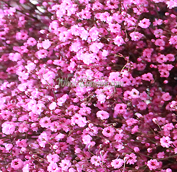 Pink flowers at bulk wholesale price online babys breath pink filler mightylinksfo