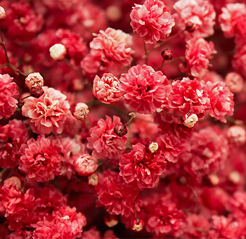 Baby's Breath Red Flower with Dark Pink Cast