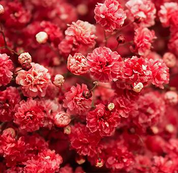 Wholesale red wedding flowers babys breath red flower with dark pink cast mightylinksfo