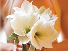 Amaryllis flower means determination. These unique and elegant flowers are a great choice for weddin