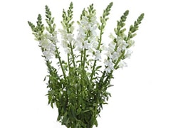 Wholesale Snapdragons