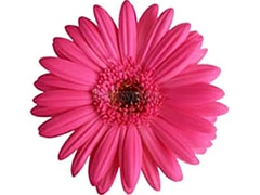 Gerbera Daisy White Dark Center
