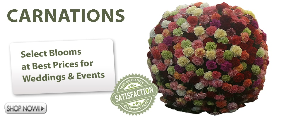 Buy Carnations Wholesale