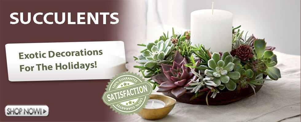 Succulents for Holiday Decorations