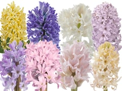 Hyacinth - Spring Colors