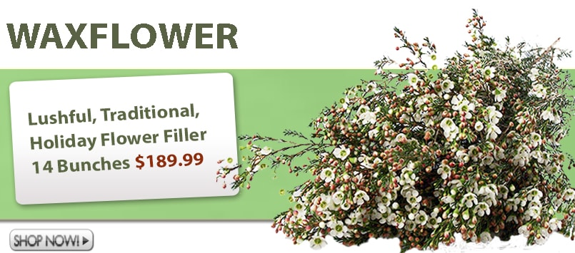 Wholesale Waxflower