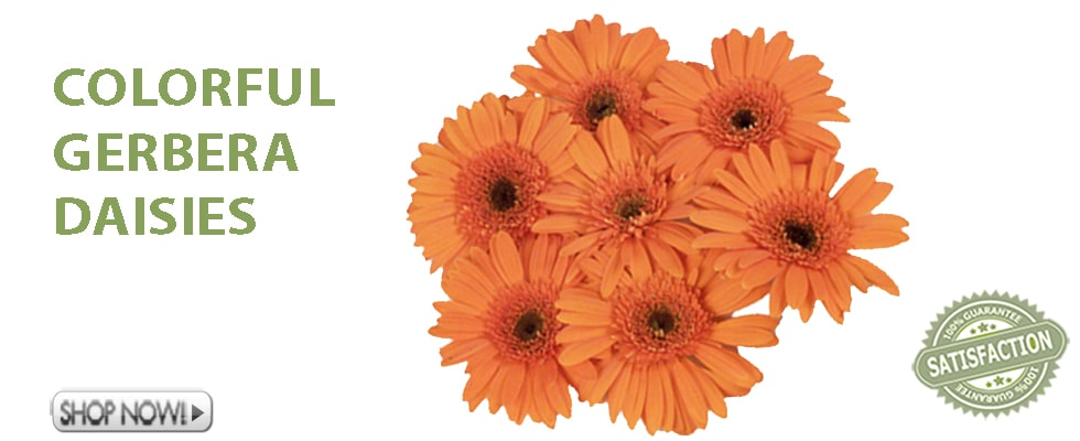 Wholesale Gerbera Daisies