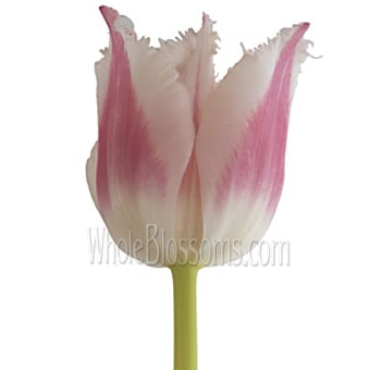 Bell Song Fringed Dark Pink Tulips