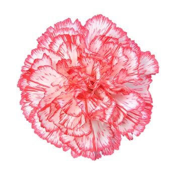 bi color white red carnation select - Carnation Flower Colors