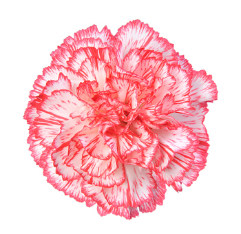 Bicolor White Red Carnations for Valentine's Day
