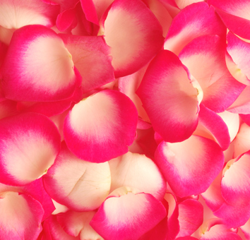 Bicolor Pink White Rose Petals for Valentine's Day