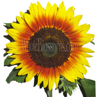 Bi-Color Sunflower Orange and Yellow