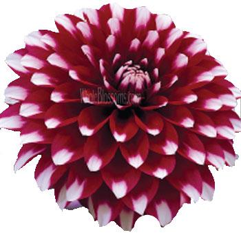 Bicolor Dark Purple Dahlia Flower Yin Yang